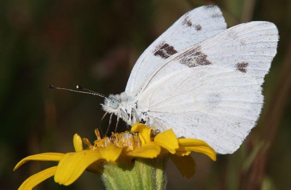 White Horse Auto >> Alpine Butterflies - Yosemite National Park (U.S. National Park Service)