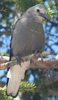 Gray bird on a tree branch
