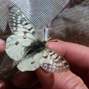 Clodius parnassian butterfly; gray with four red spots