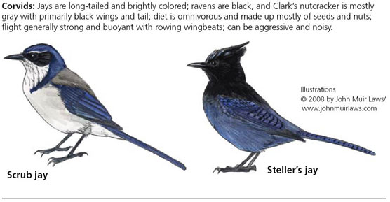 Western scrub-jay on left and Steller's jay on right