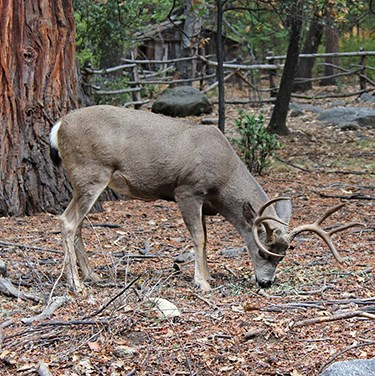 Mule deer in Yosemite Valley