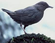 American dipper standing on moss