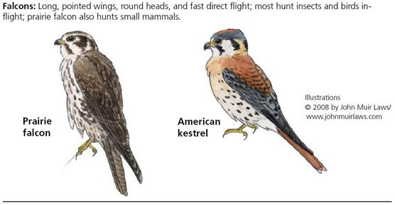 Prairie falcon on left and American kestrel on right