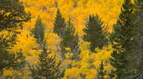 Yellow from aspen trees