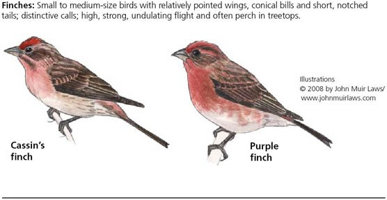 Cassin's finch on left and purple finch on right