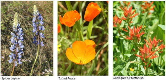 3 flowers: a purple lupine, an orange poppy and red-tipped paintbrush