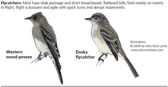 Western wood-pewee on left and dusky flycatcher on right
