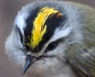 Gray bird with black and yellow stripes on head