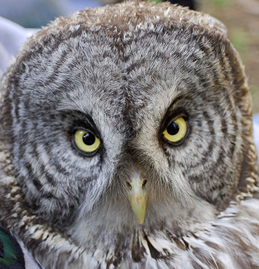 Close up of a great gray owl face