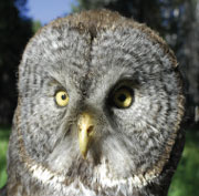Close up of yellow-piercing eyes of Great Gray Owl