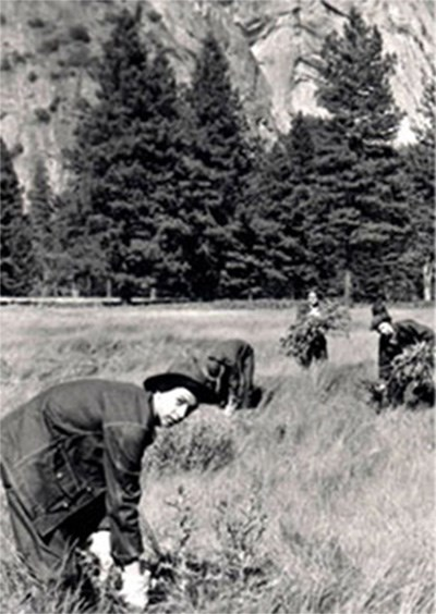 Historic black and white photo of a woman bending down to hand-pull invasive plant in a field of grass
