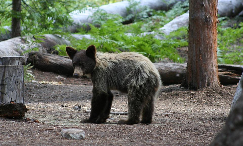 Ordinaire Juvenile Black Bear