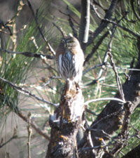 Lincoln Sparrow seen near Foresta during 2012 Christmas Bird Count