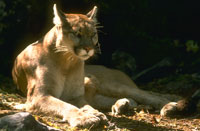 Mountain lion reclining