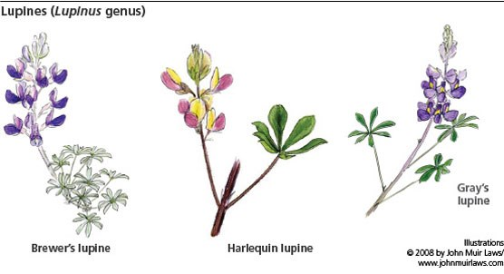 3 lupine illustrations