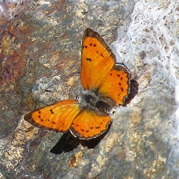 Lustrous Copper (Lycaena cupreus); orange with black spots