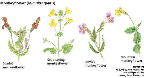 4 monkeyflower illustrations