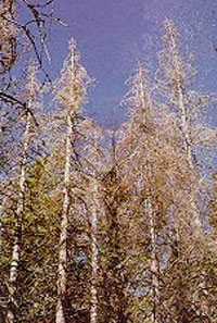 Defoliated white fir trees stand in the forest