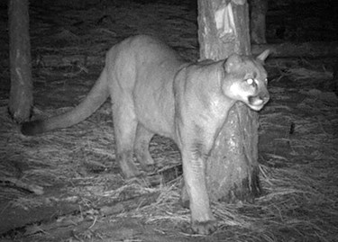 Mountain Lion caught on camera in Yosemite