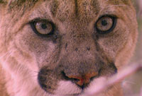 Close-up of mountain lion face