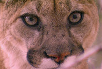 Close-up of a mountain lion stare