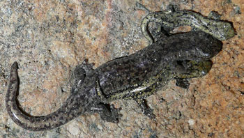 An adult and two baby salamanders on a rock