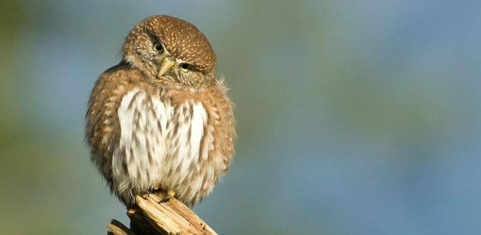 Northern Pygmy Owl on branch