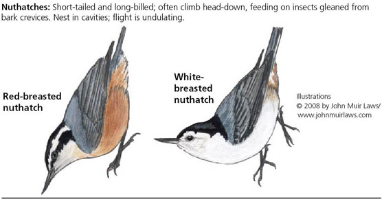 Red-breasted nuthatch on left and white-breasted nuthatch on right