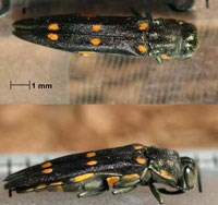 Black insect with six gold spots