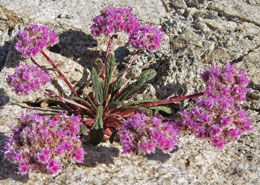 Pink flower clusters rise up out of rock outcropping