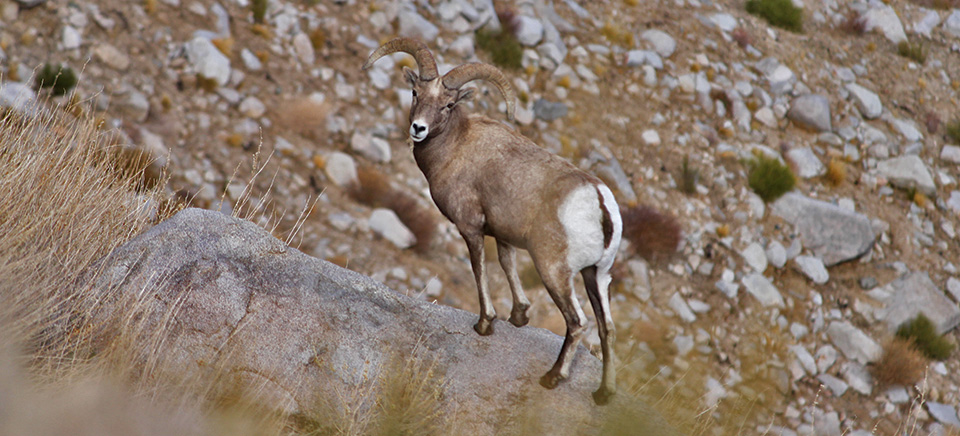 Sierra Nevada Bighorn Sheep In Yosemite National Park