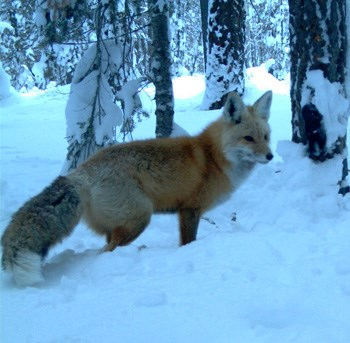Sierra Nevada red foxes vary in color; this one in the Lassen National Park area (walking in snow) is reddish.