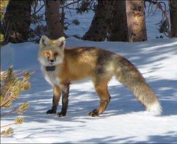 Red fox with radio collar on standing in snow