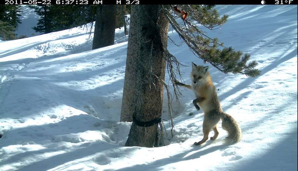 The Sierra Nevada red fox is adapted to living year-round in high-elevation habitats.