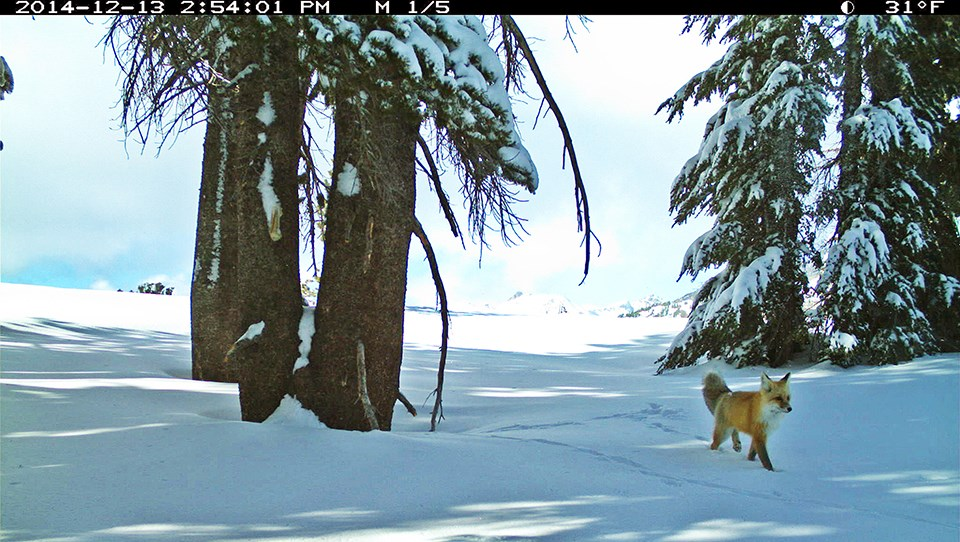 This picture of a Sierra Nevada red fox walking in snow in December 2014 was the first confirmed detection in Yosemite in nearly a century.