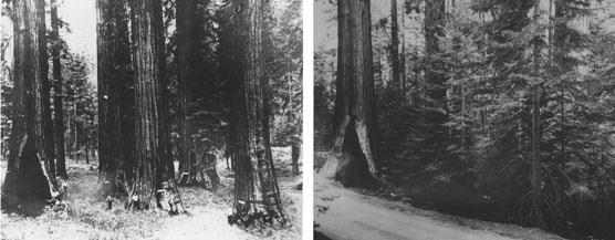 Two images to show a before and after view of a grove