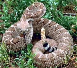 Rattlesnake takes a defensive pose