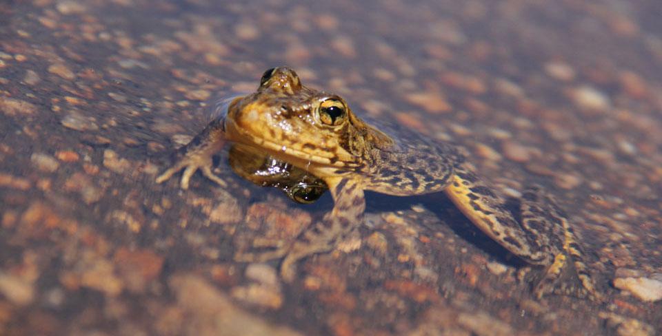 Sierra Nevada Yellow Legged Frog Yosemite National Park