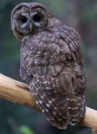 Spotted owl twists neck to look ahead