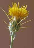 thorny yellow flower