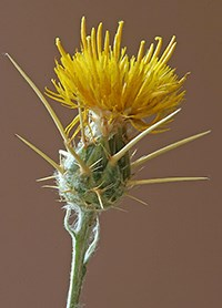 Flower head of yellow star-thistle