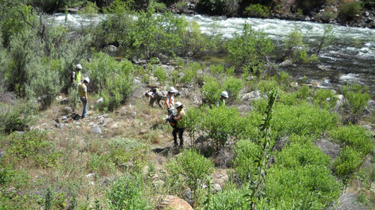 Volunteers hand pulling star thistle near the Merced River.