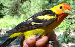 The Western tanager is a yellow-breasted bird with black wings and an orange head