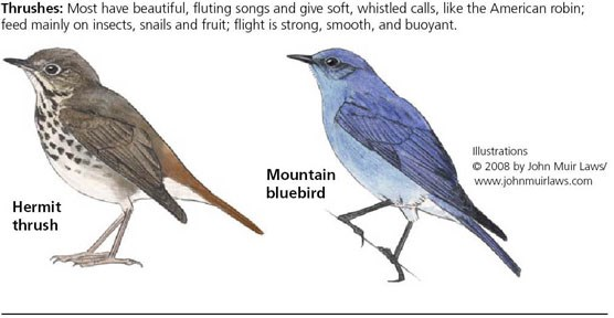 Hermit thrush on left and mountain thrush on right