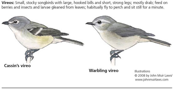 Cassin's vireo on left and warbling vireo on right