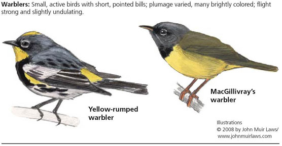 Yellow-rumped warbler on left and MacGillivray's warbler on right