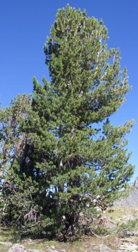 Single whitebark pine tree