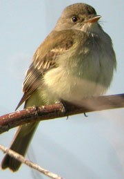 Willow flycatcher sitting on branch