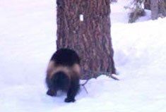 Wolverine standing at base of tree
