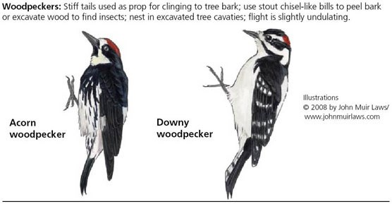 Acorn woodpecker on left and Downy woodpecker on right